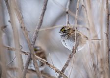 White-throated Sparrow (Zonotrichia albicollis). Spotted in Central Park, New York Royalty Free Stock Photo