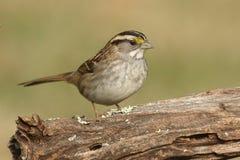 White-throated Sparrow zonotrichia albicollis Royalty Free Stock Photos