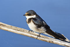 White-throated Swallow Royalty Free Stock Photo