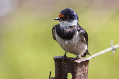White-throated Swallow with dragon fly. Stock Image