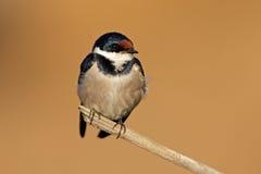 White-throated swallow Stock Photos