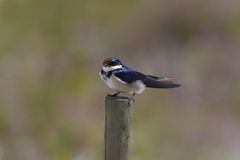 White throated Swallow Royalty Free Stock Images