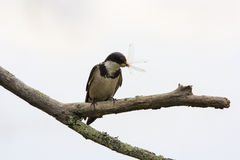 White-throated Swallow Royalty Free Stock Image