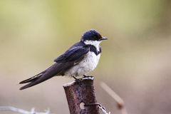 White-throated Swallow Stock Photography