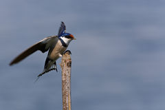 White-throated Swallow perching Royalty Free Stock Photography