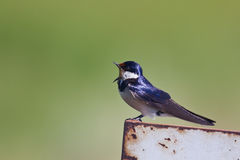 White throated swallow singing Stock Photos