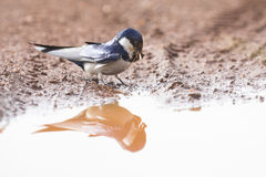 White-throated swallow sit at muddy water pool to get mud Royalty Free Stock Photography