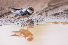 White-throated swallow sit at muddy water pool to get mud Royalty Free Stock Photo