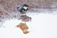 White-throated swallow sit at muddy water pool to get mud Royalty Free Stock Images