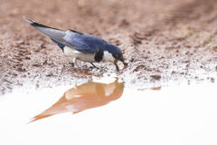 White-throated swallow sit at muddy water pool to get mud Stock Image