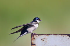 White throated swallow taking of Royalty Free Stock Photo