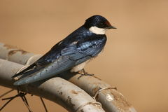 White-Throated Swallow. The Swallow was in the Kruger Nat Park. In the camping area Stock Image