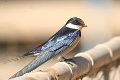 White-Throated Swallow 2. The Swallow was in the Kruger Nat Park. In the camping area Stock Photography