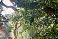 White-throated thrush feeds on madrone fruit. White-throated thrush feeds on madrone (strawberry tree) fruit, berry tree. Spain stock photos