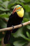 White-throated toucan Stock Photography