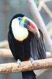 White-throated Toucan Stock Photos