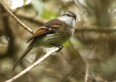 White-throated Tyrannulet Royalty Free Stock Images