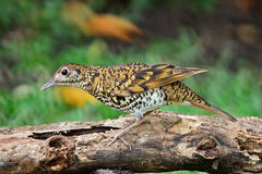 White Thrush Stock Images