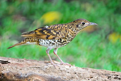 White Thrush Stock Image