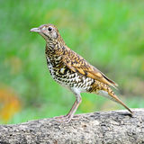 White Thrush Royalty Free Stock Photo