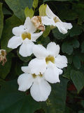 White thumbergia flowers vine Royalty Free Stock Photography