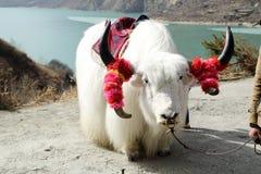 White tibetan yak Royalty Free Stock Photos