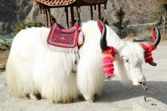 White tibetan yak Stock Photos