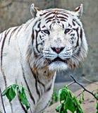 White tiger 1. Portrait of white tiger. Rare animal Stock Image