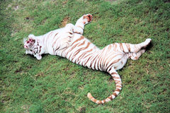 White Tiger. Laying in the grass Royalty Free Stock Image