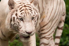 White Tiger. A bengal white tiger with blue eyes seen at the zoo Stock Images