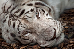 White Tiger. A stunning white tiger taking a rest in mid afternoon in the shade stock photos