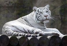 White tiger. In the zoo stock photography