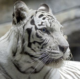 White tiger 12 Stock Photography