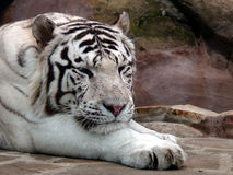 White tiger. A white tiger resting outside Stock Photos