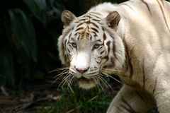 White Tiger. Strong white male tiger face walking Royalty Free Stock Photo