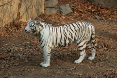 White Tiger. Is a variant of Bengal tiger Royalty Free Stock Photography