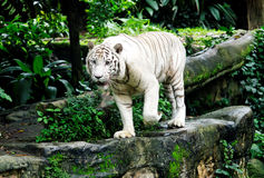 White Tiger. Singapore Zoo 2010 Stock Image
