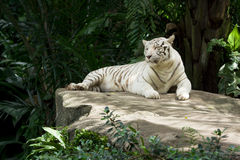 White tiger. (also snow white or pure white stock images