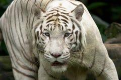 White tiger Royalty Free Stock Image