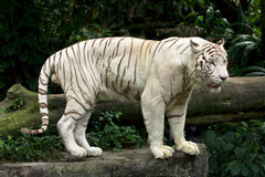 White tiger. (also snow white or pure white Royalty Free Stock Images