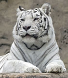White tiger 13 Stock Images