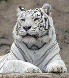White tiger 13. White tiger. Latin name -Panthera tigris tigris (var. alba Stock Images