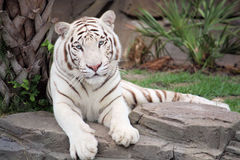 White tiger. Sitting on a rock
