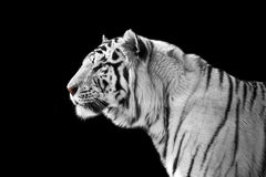 White tiger. On a black background stock photos