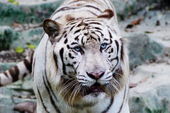 White tiger. In the zoo Stock Photo