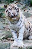 White tiger. In the zoo Royalty Free Stock Image