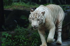 White Tiger stock photos