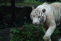 White Tiger. Close up of a white siberian tiger Royalty Free Stock Image
