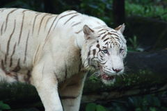 White Tiger. White siberian tiger posing for a picture Royalty Free Stock Image