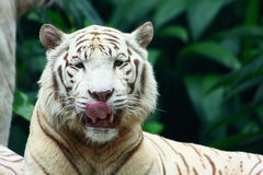 White Tiger. A Big white tiger close-up portrait Royalty Free Stock Images